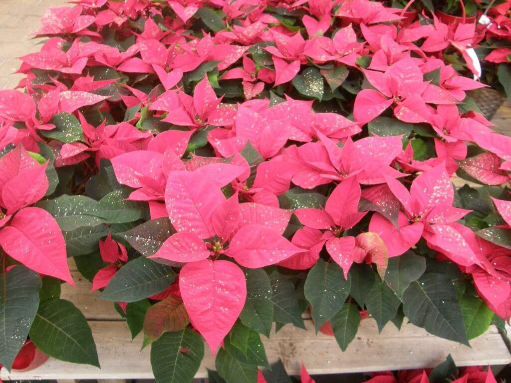 Poinsettia ou l'étoile de Noël