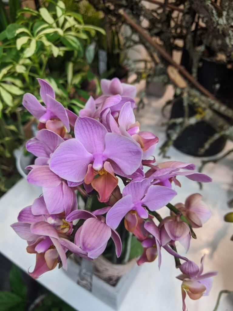 Orchidee violine